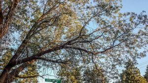 Outer Highway Oak Tree - Lightened Up by falconire