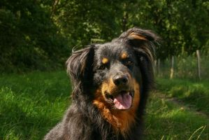 German Herding Dog Portrait by LuDa-Stock
