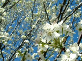 Pear Blossoms 1 by Loriele