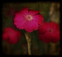 campion by awjay