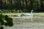 Swan and Cygnet by Ciao-Arrivederci