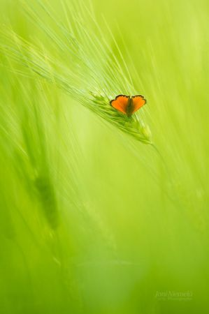 Barley And Scarce Copper by Nitrok