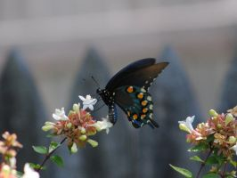butterly1 by Mrs-Mims