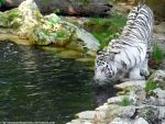 White tiger III by Cansounofargentina