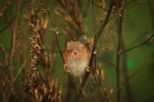Harvest Mouse 2 by twilliamsphotography