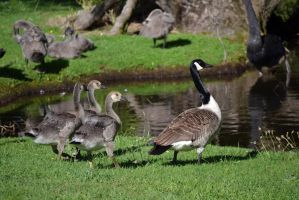 Goose and Goslings Stock by jojo22