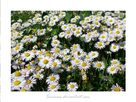 Daisies by Sinensis