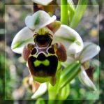 Ophrys umbilicata by maska13