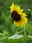 Sunflower profile by Mogrianne