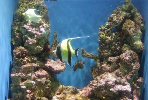 Angelfish by Trisaw1