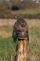 Relaxed Golden eagle by AngiWallace