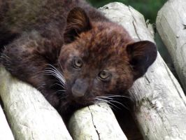 2014 - Black leopard cub 10 by Lena-Panthera