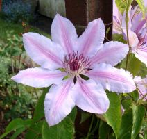 Clematis by Vetriz