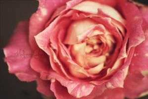 Roses are Pink by catchingfyre