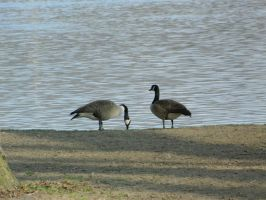 Geese by LexyLou16