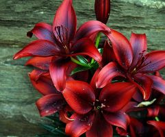 lilly oh lilly by awjay
