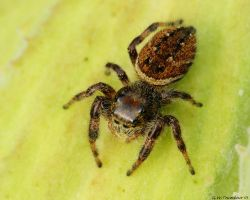 Jumping Spider by natureguy