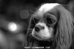 Cav King Charles Spaniel.. by straightfromcamera