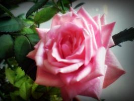 Rose for the dead by Angelvila