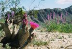 Cacti in Bloom by SwordOfScotland
