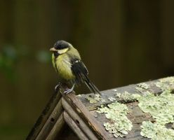 Baby Great tit in the rain by Xs9nake