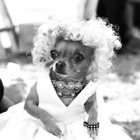 Marilyn Chihuahua by MaryWatkins