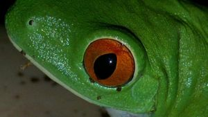 Frenchy's Red Eye by AlexandersMantids