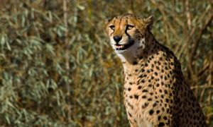 cheetah528 by redbeard31