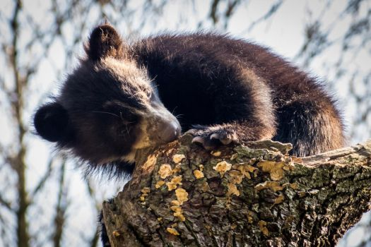 Spectacled Baby Bear #4 by MartyMcFly81