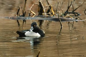 Drake Ring necked Duck by natureguy