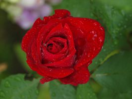 Rainy Red Rose 01 by botanystock