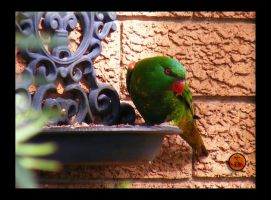 Scaly-breasted Lorikeet by Ranger-Roger-Reserve