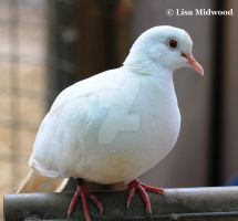White Ringneck Dove by mintymintymid