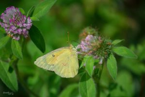 Butterfly Series (Clouded Sulphur) by sioranth