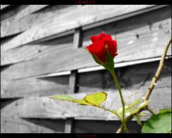 lonely rose by JoannaGebka