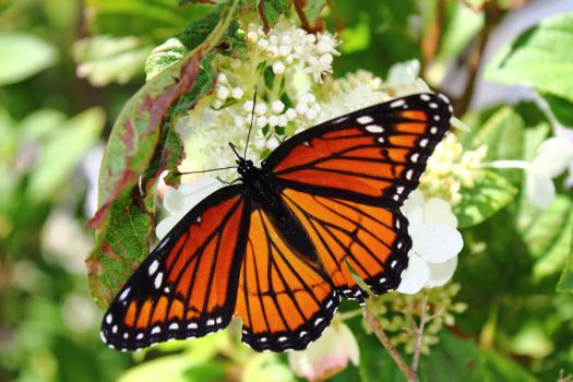 Monarch butterfly by ExtremoPenguin