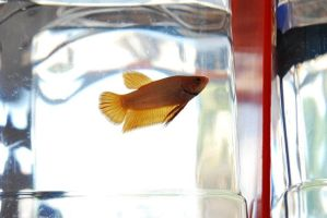Betta Fish for export 04 by jerungan