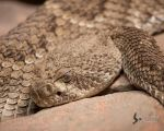 Rattlesnake 2 by EdgedFeather