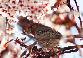Red House Finch by jon-rista