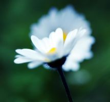 White Flower by boxx2genetica-stock