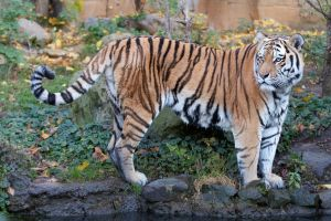 Tiger 08 Stock by lokinststock