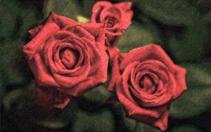 Red roses by emmawhit