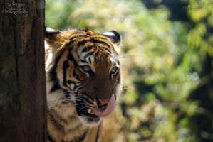 Malayan Tiger 17 by HarbingerPhotography