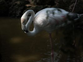 Wading Flamingo by InayatShah