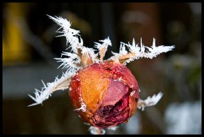 Another frozen rose by echomrg
