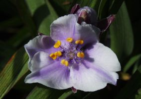 Tradescantia Bilberry Ice by Yawn-Monster