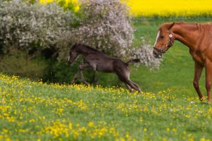 Black Warmblood Foal Galloping on yellow flowers 5 by LuDa-Stock