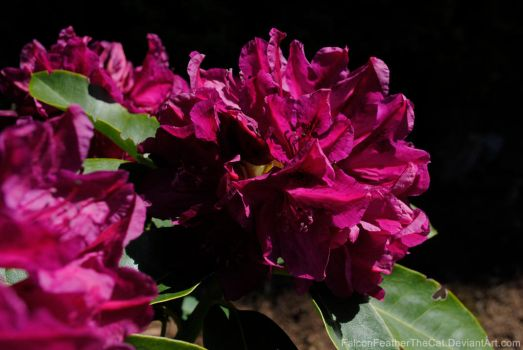 Inflorescence of rhododendron by FalconFeatherTheCat