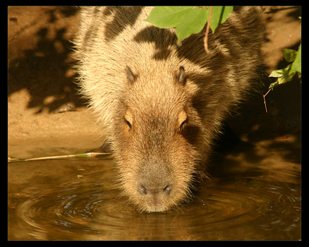 Capybara by TheDivineGoat