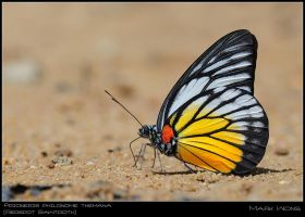 Prioneris philonome themana by log1t3ch